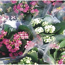 Planta Kalanchoe Variado de Colores.